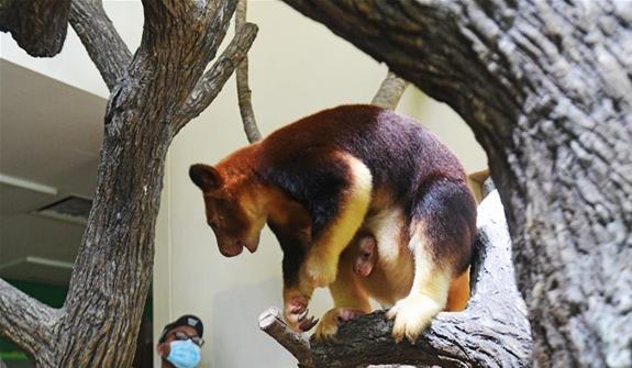 樹袋鼠寶寶亮相新加坡動物園